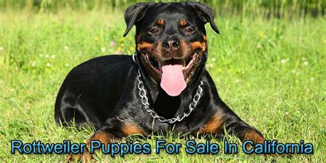 rottweiler breeders in california rottweiler puppies for sale in california