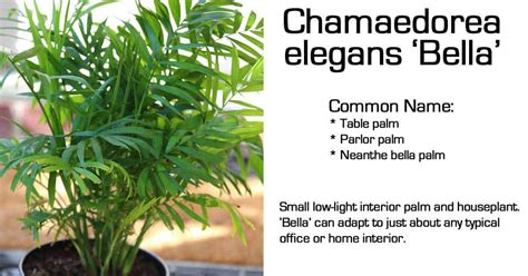Patio Gardening Containers Neathe Bella Palm Table Top Chamaedorea Elegans Bella