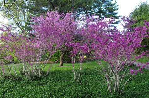 japanese redbud tree photos eastern redbud maples n more nursery