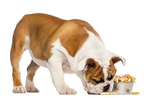 alimentazione bulldog inglese cucciolo come prendersi cura di un cucciolo di bulldog inglese