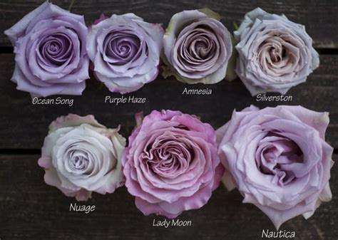 song roses are lavender song search flora
