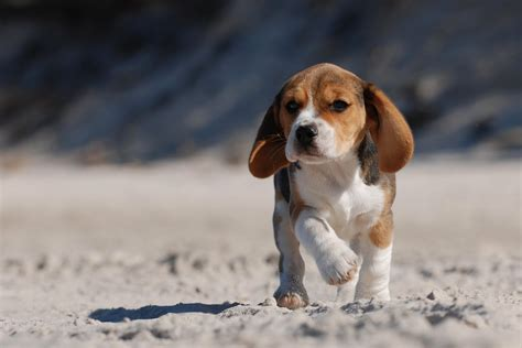 are beagles good house dogs beagle puppies photos compilation pictures of animals 2016