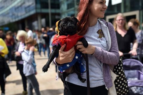 celebrating pugs and pups pug dogs and their owners arrive at pugfest manchester