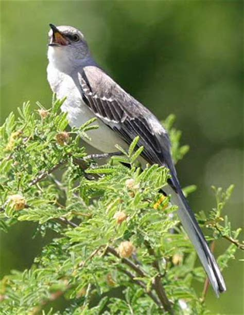 arkansas state mockingbird pictures state birds