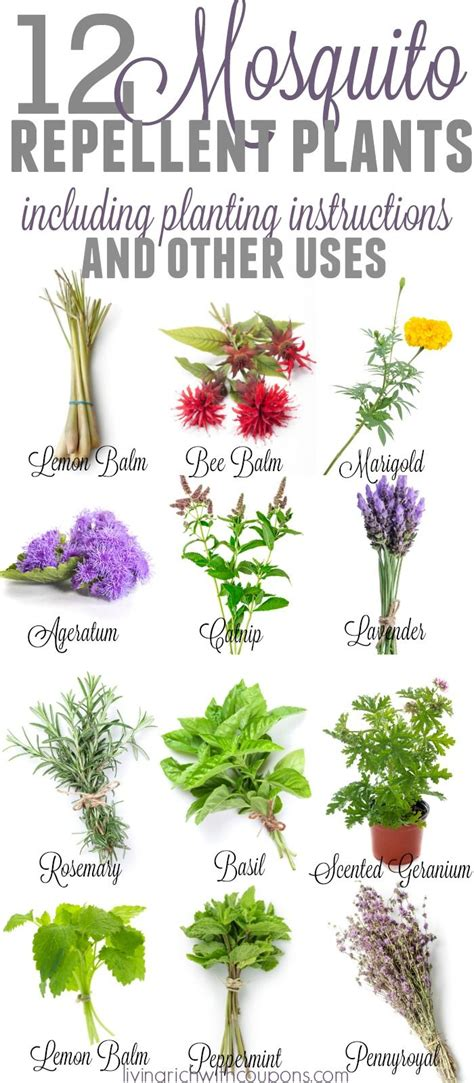 best plant for mosquito repellent 25 best ideas about mosquito repelling plants on