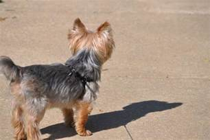 What To Take To Make Your Hair Grow by 50 Damn Cute Yorkie Haircuts For Your Puppy Hairstylecamp