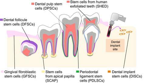 dental mesenchymal stem cells development