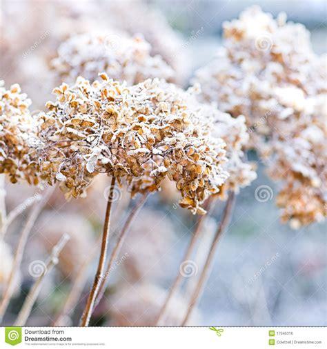 fiori in inverno i fiori ghiacciati dell inverno fotografia stock