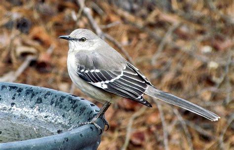 backyard birds of north carolina file mimus polyglottos krendle woods cary north