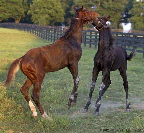 stonestreet rachel alexandra will not be bred in 2014 taco plays with silky serenade s foal 6 20 12 rachel
