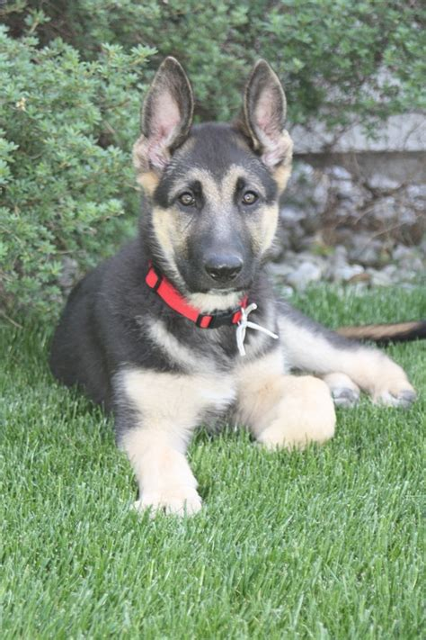 german shepherd puppies for sale michigan german shepherd kennel purebred german shepherd puppies for sale michigan german