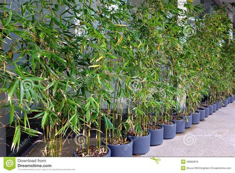 Vasi Per Bamboo by Piante Di Bamb 249 In Vasi Fotografia Stock Immagine 46865816
