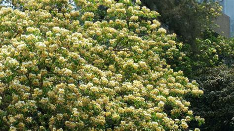common flowering trees  spring march