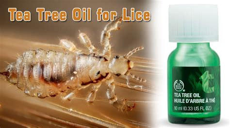 does tea tree oil kill lice tea tree oil for lice quick and effective home remedy