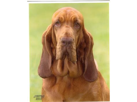 bloodhound puppies prices puppies for sale bloodhound bloodhounds f category in lancaster california