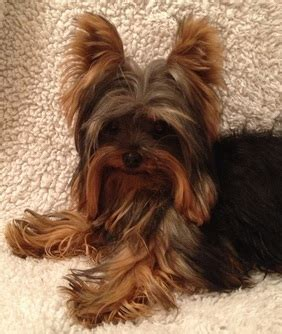 are yorkies yappy the parents