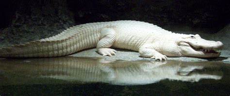 what color are alligators my favorite quot sw ghost quot an leucistic alligator
