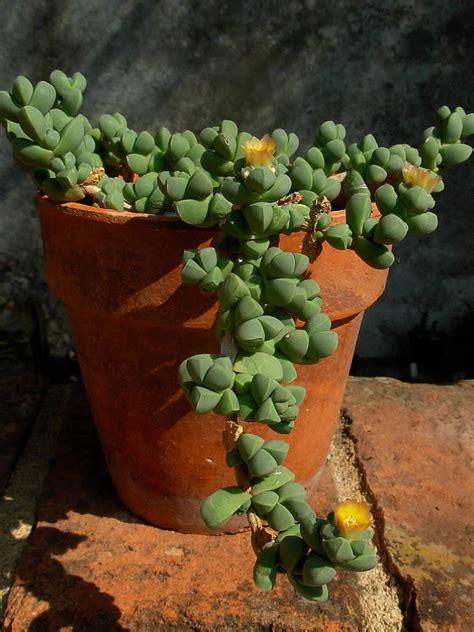 succulent plants world of succulents corpuscularia lehmannii ice plant world of succulents