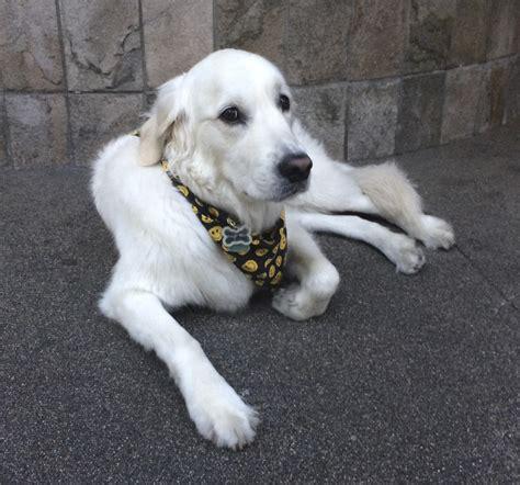 golden retriever puppies san francisco of the day golden retriever the dogs of san francisco