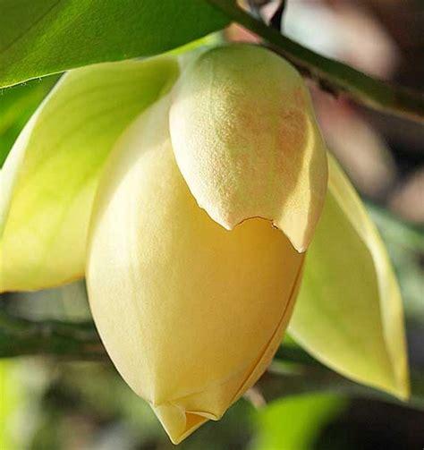 Tanaman Bunga Kantil Kuning tanaman cempaka telur kuning magnolia liliifera