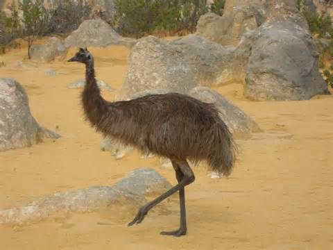 Whoever saw an emu swim aussiebirdlife com classic australian