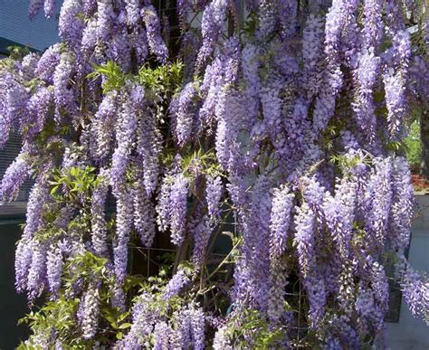 perennial climbing plants with flowers perennial plant quizzes from education quizzes
