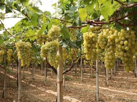 piantare uva da tavola uva vittoria uva uva vittoria ortofrutta