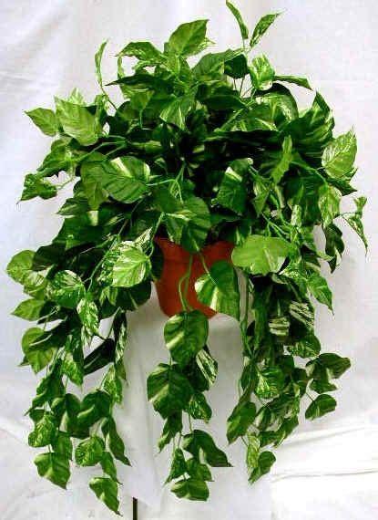 planta jiboia verde otimas  variadas mudas  unidades