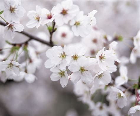 17 best images about cherry blossom trees on pinterest