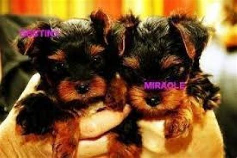 teacup yorkies for sale in west virginia and adorable teacup yorkie puppies available for free adoption