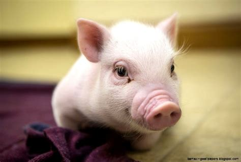 Really Cute Baby Pigs   Amazing Wallpapers