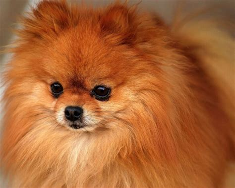 pomeranian with pomeranian all small dogs wallpaper 18774587 fanpop