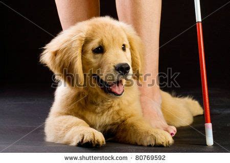golden retriever puppy guide 37 best images about guide dogs puppies on puppys and new class