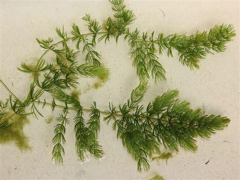 fs coontail cerstophyllum demersum  native