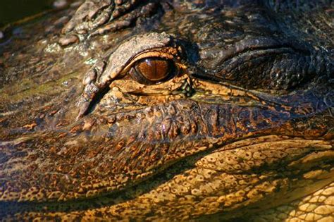 what color are alligators alligator eye by barry steven greff black white magazine