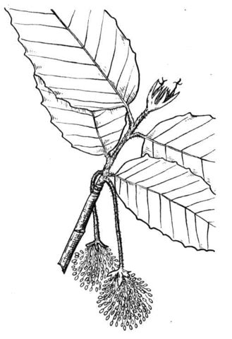 beech tree coloring page beech tree coloring page sketch coloring page
