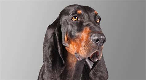 black and coonhound puppy black and coonhound breed information american kennel club