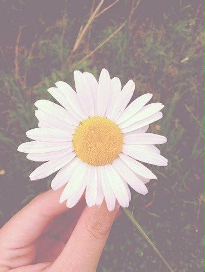 tumblr wallpapers daisies daisy flowers wallpaper tumblr