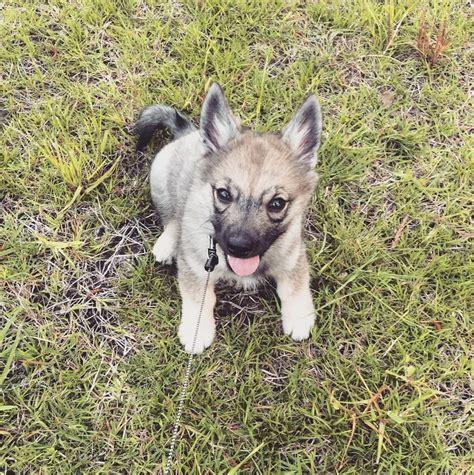 swedish vallhund puppies related keywords suggestions for swedish vallhund