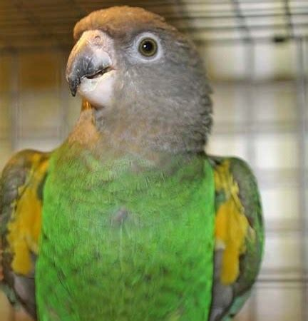 brown headed poicephalus 112196 for sale in chicago il