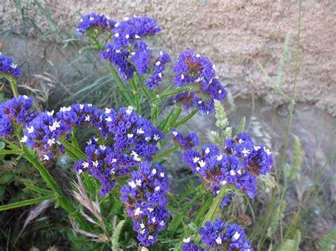 garden flowers limonium statice sea lavender