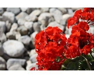 piante ricanti sempreverdi con fiori fioriere per ricanti 10 images fioriere in muratura 28