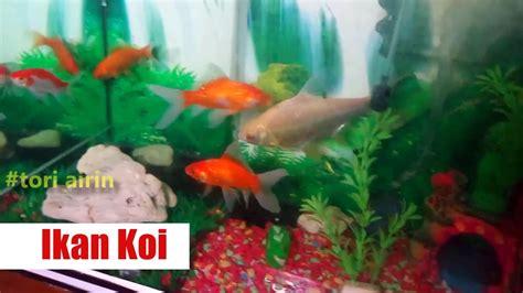 tato ikan koi kecil ikan koi memelihara ikan hias di aquarium bersama anak