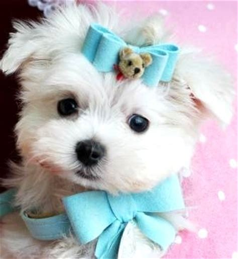 yorkie puppies for sale in los angeles white teacup terrier photo happy heaven