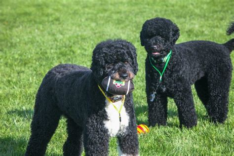obama bo puppy bowl at the white house barking beast