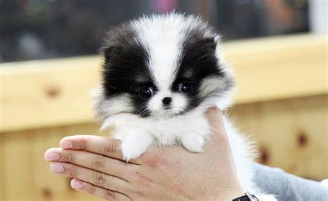 how is a pomeranian 12 minutes 17 best images about pomsky on pomeranian husky teacup pomeranian and pets