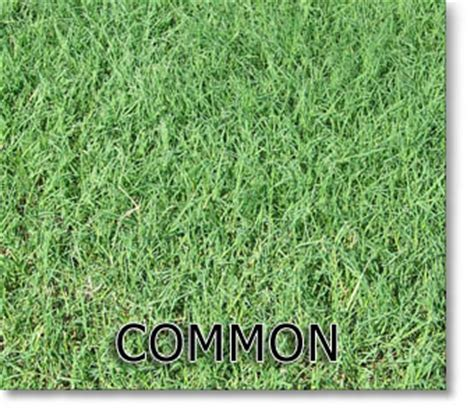 pin st augustine grass lawn on pinterest