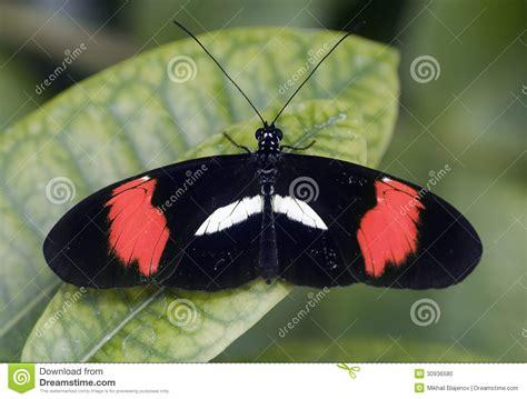 imagenes de mariposas negras y blancas mariposa negra roja y blanca 1 foto de archivo imagen