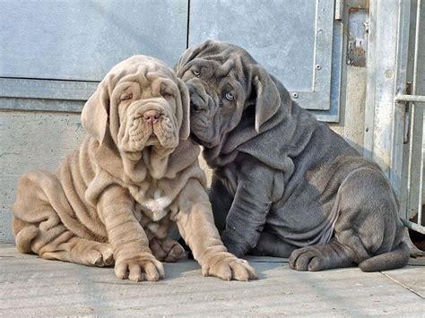 neapolitan mastiff puppies for adoption sale neapolitan mastiffs neapolitan mastiff puppy neapolitan mastiff breeds picture