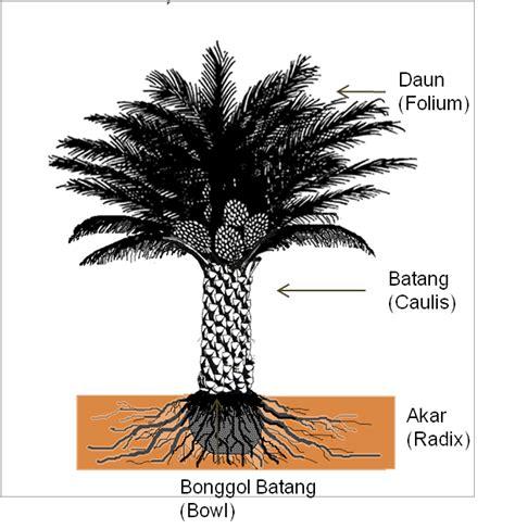 1 Jantan 2 Betina Bibit Tanaman Buah Kurma Deglet Noor the palm planters mophologi kelapa sawit